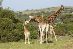 与微小的婴孩的长颈鹿家庭 库存照片