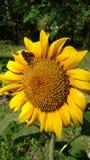 与微小的蝴蝶的向日葵 图库摄影