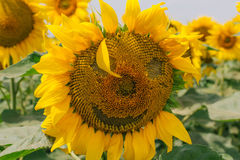 与微笑的向日葵 在向日葵的情感 向日葵微笑  免版税库存图片