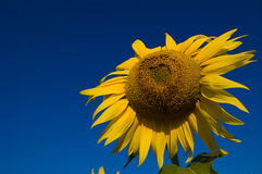 与心脏形状种子的向日葵 图库摄影