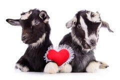 与心脏的山羊 免版税库存照片