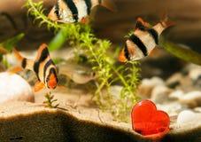 与心脏的水族馆鱼 免版税图库摄影