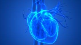 与心脏解剖学的人体器官心血管系统 库存例证