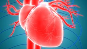 与心脏解剖学的人体器官心血管系统 皇族释放例证