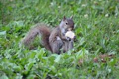 与快餐的灰鼠 免版税库存照片
