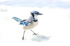 与态度的蓝色尖嘴鸟, Cyanocitta cristata英俊的标本,跨骑,机敏站立两手插腰在水晶雪 免版税库存照片