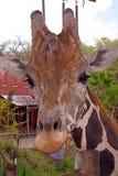 与态度的长颈鹿 库存图片