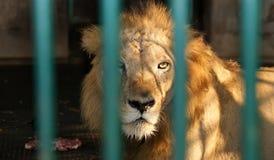 与恳切的视域的狮子在笼子 免版税库存照片