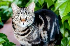 与恼怒的神色的猫在灌木 库存照片
