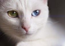 与惊人的不同的多彩多姿的眼睛的美丽的雪白有来历猫在一个晴天 免版税库存图片