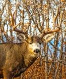与惊人的鹿角的年迈的大型装配架长耳鹿 库存图片