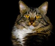 与惊人的黄色眼睛的美国短尾的混合品种猫 库存图片