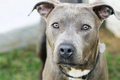 与惊人眼睛的灰色鬼魂狗 免版税库存照片