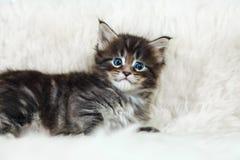 与惊奇大眼睛的小缅因浣熊小猫 免版税库存图片