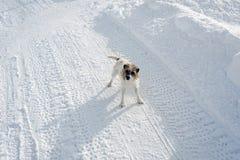 与惊奇的神色的一条可爱的逗人喜爱的狗在积雪的风景在冬天在阿尔卑斯瑞士 图库摄影
