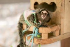 与惊奇面孔的幼小小猿猴子 免版税库存照片