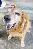 与愉快的面孔微笑的面孔的金毛猎犬面孔 免版税库存图片