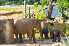 与成人的一头年轻大象 库存图片
