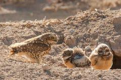 与成人的猫头鹰小鸡 库存照片