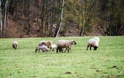 与成人绵羊的逗人喜爱的羊羔在冬天调遣 免版税库存照片