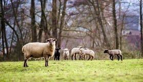 与成人绵羊的逗人喜爱的羊羔在冬天调遣 免版税库存图片