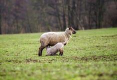与成人绵羊的逗人喜爱的羊羔在冬天调遣 库存图片