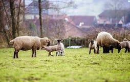 与成人绵羊的逗人喜爱的羊羔在冬天调遣 图库摄影