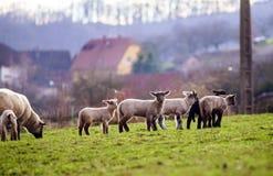 与成人绵羊的逗人喜爱的羊羔在冬天调遣 库存照片