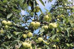 与成熟一个绿色苹果的果子的一棵树 葡萄酒结果实维生素的富有 庭院的果树 农业的和工业的事务 库存图片