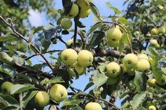 与成熟一个绿色苹果的果子的一棵树 葡萄酒结果实维生素的富有 庭院的果树 农业的和工业的事务 免版税库存图片