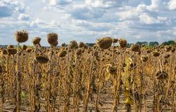 与成熟向日葵领域的风景 免版税库存图片