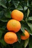 与成熟桔子垂直的橙树 免版税库存照片