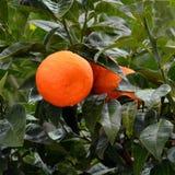 与成熟桔子正方形的橙树 库存照片