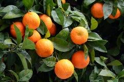 与成熟桔子水平的橙树 免版税库存照片