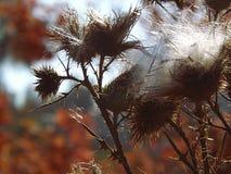 与成熟的种子的多刺的蓟以荚莲属的植物的变红的叶子为背景 库存照片
