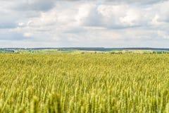 与成熟的麦子耳朵绿色的乡下风景  与有限的景深的农业种植园背景 免版税库存照片