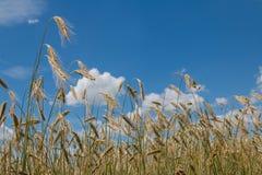 与成熟耳朵的麦田,蓝色多云天空 图库摄影