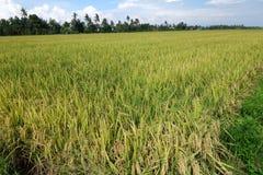与成熟稻的稻田在蓝天下 免版税图库摄影
