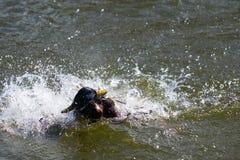 与战斗的两只德雷克野鸭鸭子为湖的女性 免版税库存照片