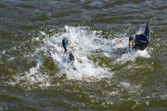 与战斗的两只德雷克野鸭鸭子在湖 免版税库存图片