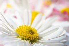 与戴西的被隔绝的背景开花与一个黄色核心和桃红色瓣 免版税库存照片