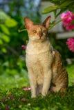 与户外卷发的康沃尔雷克斯猫 免版税库存照片