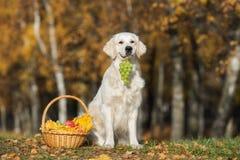 与户外果子篮子的金毛猎犬狗在秋天 库存照片