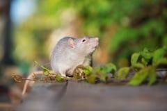 与户外红色眼睛的灰色宠物鼠 免版税图库摄影