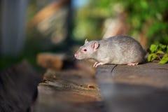与户外红色眼睛的灰色宠物鼠 免版税库存照片