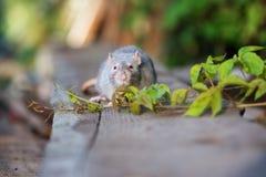 与户外红色眼睛的灰色宠物鼠 免版税库存图片