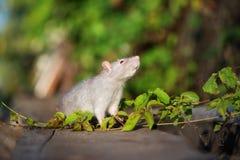 与户外红色眼睛的灰色宠物鼠 图库摄影
