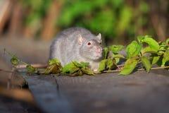 与户外红色眼睛的灰色宠物鼠 库存图片