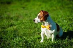 与户外黄色蝶形领结的纯血统杰克罗素狗狗在草草甸的自然在一个夏日 免版税库存图片