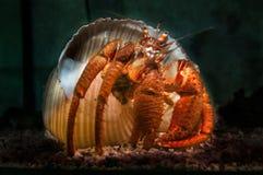 与房子,克罗地亚的红色螃蟹 免版税图库摄影